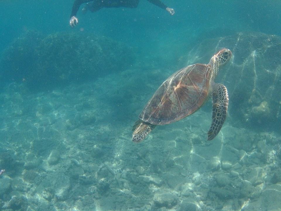 Wasserschildkroete_WhitsundayIslands_Turtle